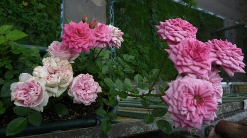 Выращивание розы на балконе 60