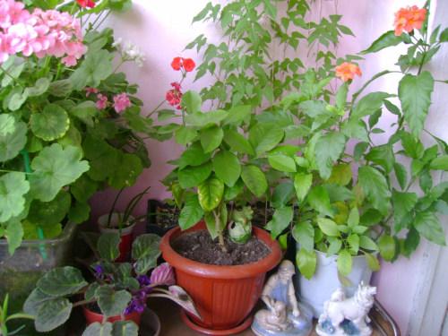 Выращивание кроссандры в домашних условиях 19