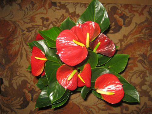 Цветок с листьями в виде сердца74