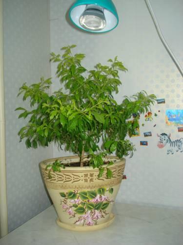 Кассия яванская феникс выращивание из семян 44