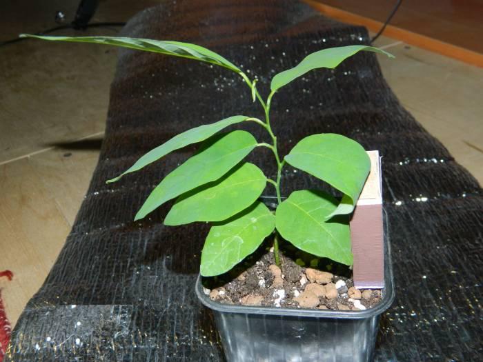 Гогулан выращивание в домашних условиях 10
