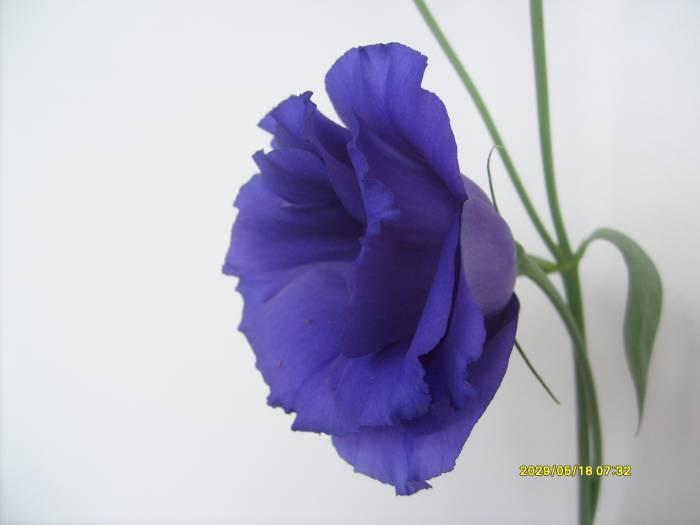 эустома  синяя