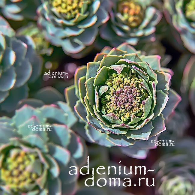 Adenium Obesum BLACK EDITION