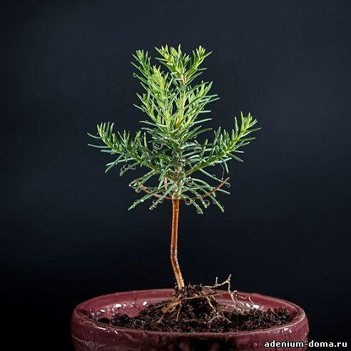 Выращивание секвойядендрон 79