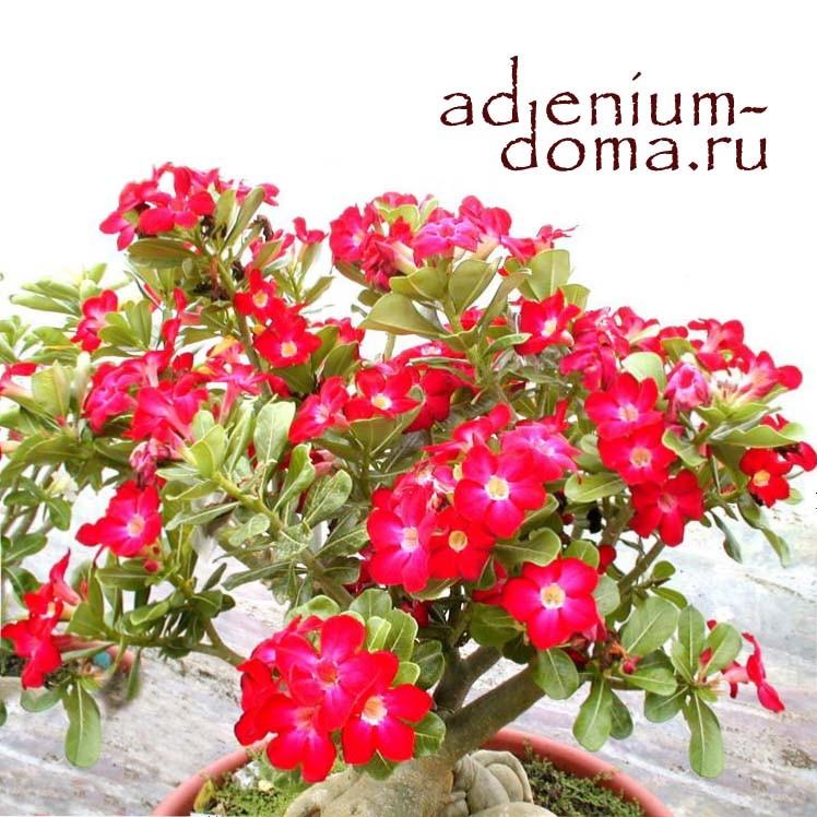 Adenium Obesum ARROGANT