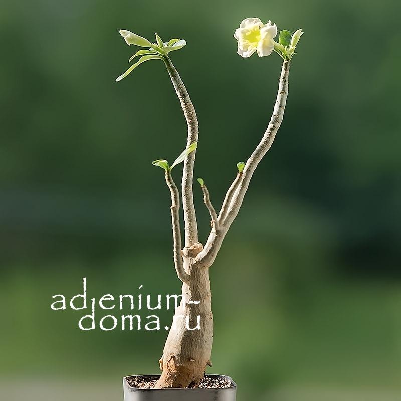 Растение Adenium Obesum Desert Rose VANILLA ICE