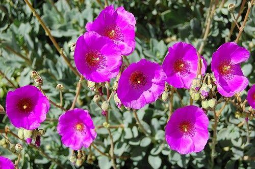 Каландриния цветок