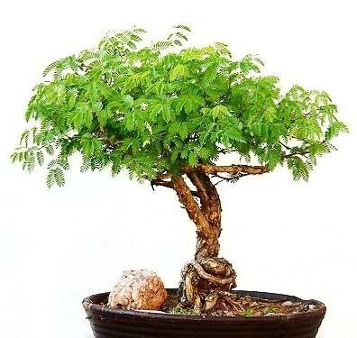 Acacia BAILEYANA Акация 3