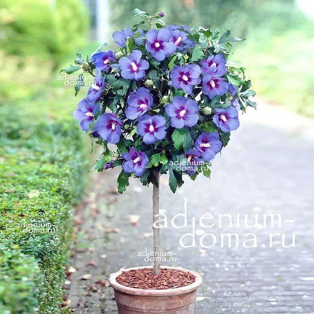 Hibiscus SYRIACUS BLUE SATIN Гибискус сирийский Голубой сатин 1