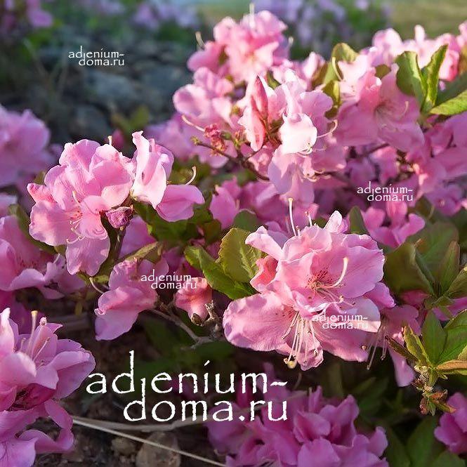 Rhododendron SCHLIPPENBACHII Рододендрон Шлиппенбаха 1