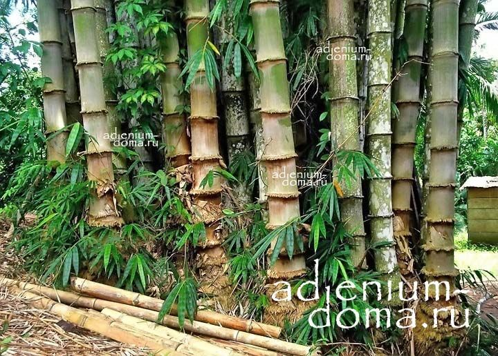 Dendrocalamus STRICTUS Male Bamboo Solid Бамбук прямой Дендрокаламус 3