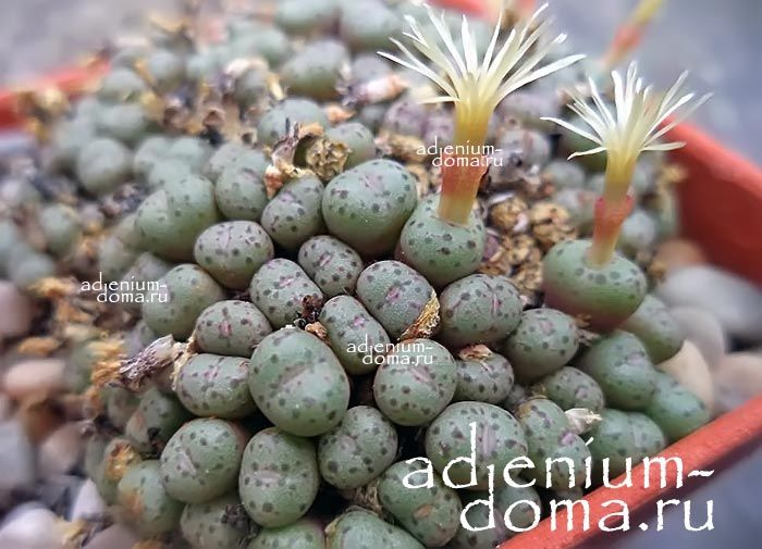 Conophytum UVIFORME Конофитум ягодовидный 3