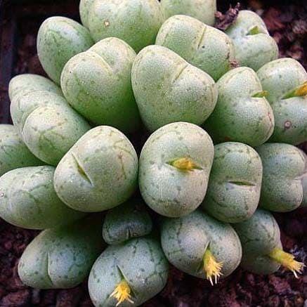 Conophytum UVIFORME Конофитум ягодовидный 2