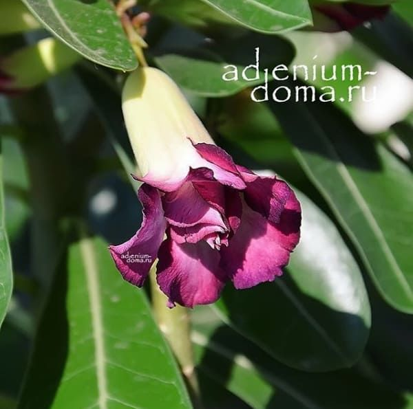 Ветка Adenium Obesum Triple BLACK PURPLE