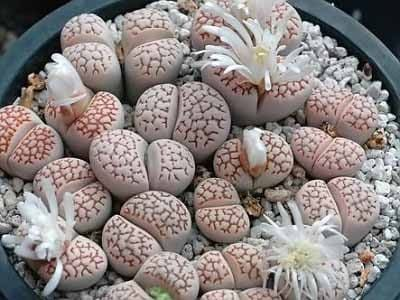 Lithops JULII Литопс Юлии 1