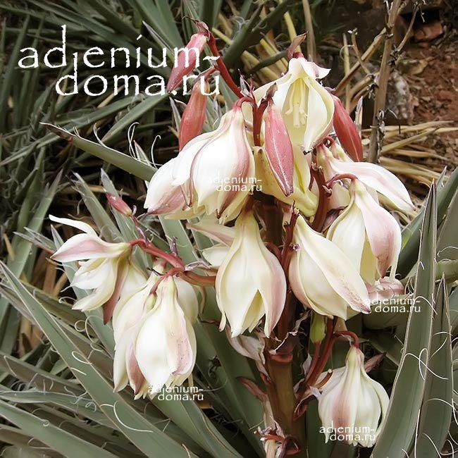 Yucca BACCATA Юкка ягодная 1