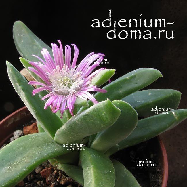 Gibbaeum VELUTINUM Гиббеум бархатистый 1