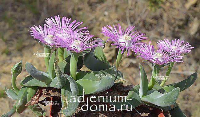 Gibbaeum VELUTINUM Гиббеум бархатистый 3