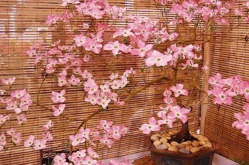 Cornus FLORIDA RUBRA Дерен красный цветущий 2