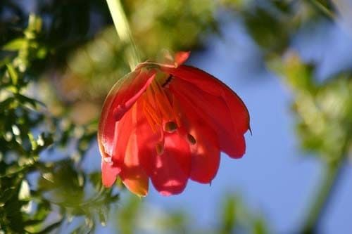 Passiflora MIXTA Пассифлора смешанная 3
