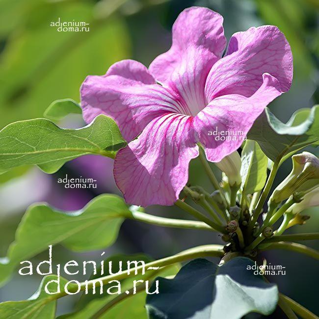 Компактное растение Adenium Obesum СОРТОВОЙ MIX