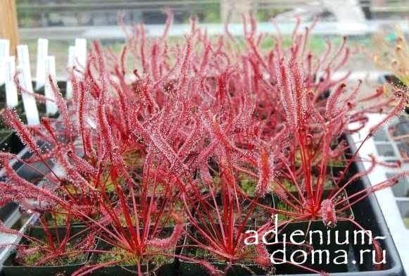 Drosera CAPENSIS RED Росянка капская красная 4