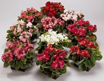 Begonia SEMPERFLORES AMBASSADOR MIX Бегония вечноцветущая 2