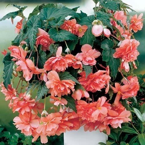 Begonia ILLUMINATION SALMON PINK Бегония 1