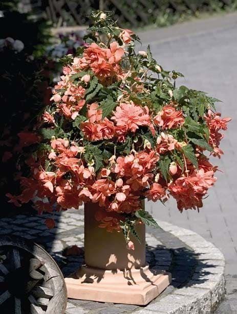 Begonia ILLUMINATION SALMON PINK Бегония 2