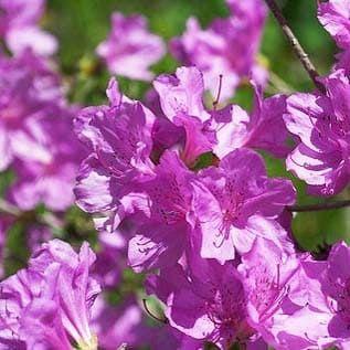 Rhododendron YEDOENSE var POUKHANENSE Рододендрон пукханский 3