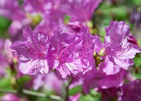 Rhododendron YEDOENSE var POUKHANENSE Рододендрон пукханский 1