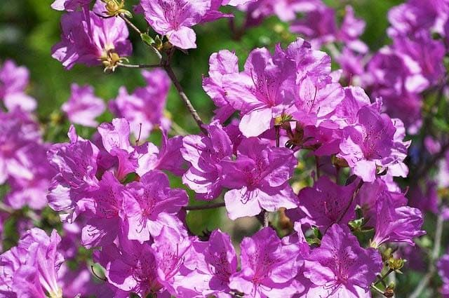 Rhododendron YEDOENSE var POUKHANENSE Рододендрон пукханский 2