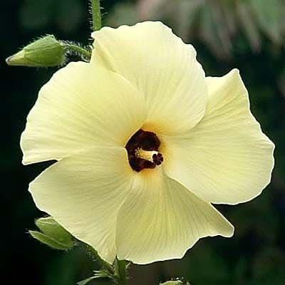Hibiscus Abelmoschus MANIHOT Гибискус Абельмосхус маниоковый 1