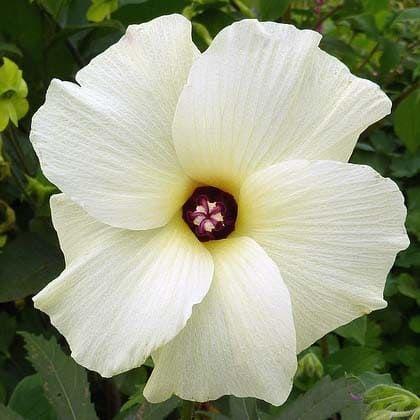 Hibiscus Abelmoschus MANIHOT Гибискус Абельмосхус маниоковый 2