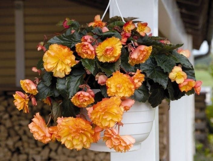 Begonia ILLUMINATION GOLDEN PICOTEE Бегония 2
