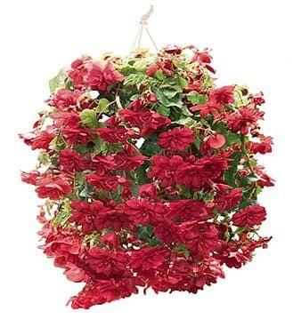 Begonia ILLUMINATION SCARLET Бегония 3