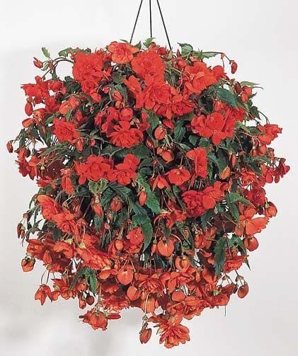 Begonia ILLUMINATION SCARLET Бегония 2