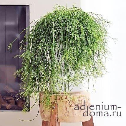 Растение Rhipsalis CEREUSCULA (Рипсалис) 03