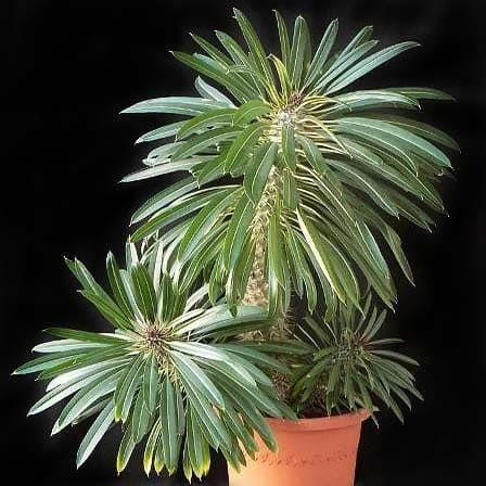 Pachypodium LAMEREI Пахиподиум Леме 1