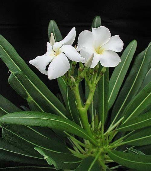 Pachypodium LAMEREI Пахиподиум Леме 2
