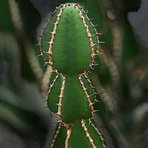 Euphorbia COOPERI Молочай Купера 1