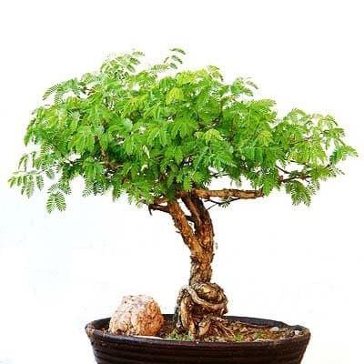 Acacia SENEGAL Акация 1