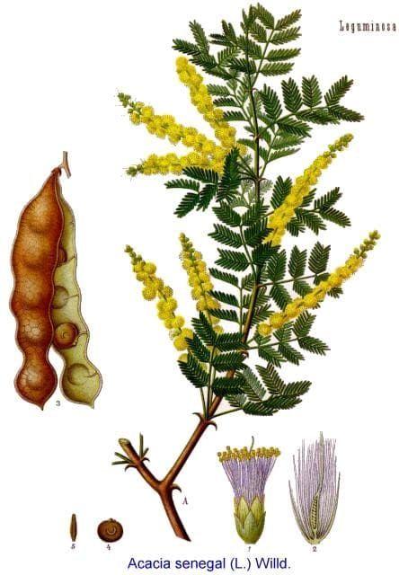 Acacia SENEGAL Акация 2
