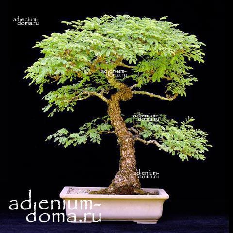 Acacia TORTILIS Акация 3