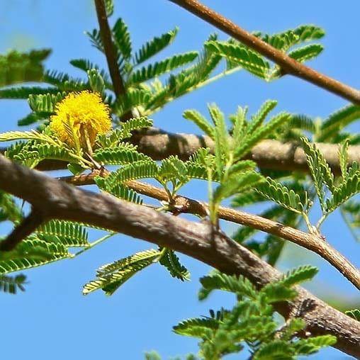 Acacia TORTILIS Акация 1