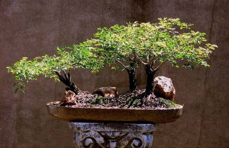 Acacia TORTILIS Акация 2