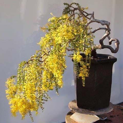 Acacia FARNESIANA Акация 2