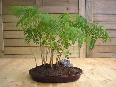 Acacia FARNESIANA Акация 3