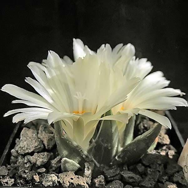 Ariocarpus TRIGONUS Ариокарпус треугольный 4