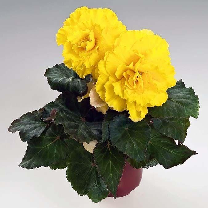Begonia NONSTOP MOCCA YELLOW Бегония 1
